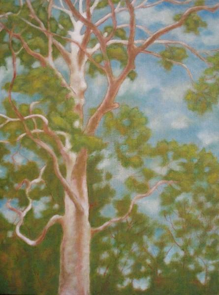 Eucalyptus ~ Fitzroy Park